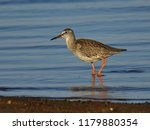 the common redshank  tringa... | Shutterstock . vector #1179880354