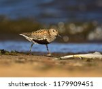 dunlin  calidris alpina  in... | Shutterstock . vector #1179909451
