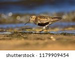 dunlin  calidris alpina  in... | Shutterstock . vector #1179909454