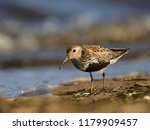 dunlin  calidris alpina  in... | Shutterstock . vector #1179909457