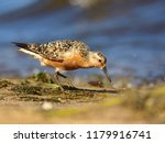 the red knot  calidris canutus  ... | Shutterstock . vector #1179916741