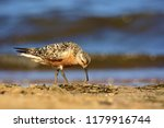 the red knot  calidris canutus  ... | Shutterstock . vector #1179916744