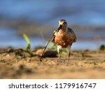 the red knot  calidris canutus  ... | Shutterstock . vector #1179916747