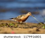 the red knot  calidris canutus  ... | Shutterstock . vector #1179916801