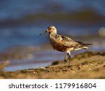 the red knot  calidris canutus  ... | Shutterstock . vector #1179916804