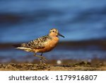 the red knot  calidris canutus  ... | Shutterstock . vector #1179916807