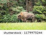 majestic european bison  bison... | Shutterstock . vector #1179975244