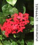 beautiful spike flower blooming ... | Shutterstock . vector #1179994651