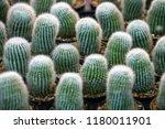 green cactus plants in pots ... | Shutterstock . vector #1180011901
