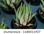 green cactus plants in pots ... | Shutterstock . vector #1180011937