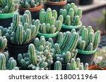 green cactus plants in pots ... | Shutterstock . vector #1180011964