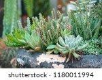 green cactus plants in pots ... | Shutterstock . vector #1180011994