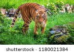 majestic royal bengal tiger at... | Shutterstock . vector #1180021384