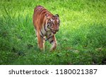 majestic royal bengal tiger at... | Shutterstock . vector #1180021387
