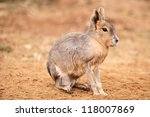 Patagonian Mara Against A...