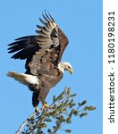 bald eagle perched in tree | Shutterstock . vector #1180198231