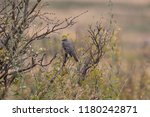 townsend's solitaire migrating | Shutterstock . vector #1180242871