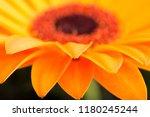 sun flower close up | Shutterstock . vector #1180245244