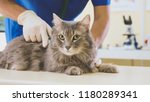 portrait of a grey cat at...   Shutterstock . vector #1180289341