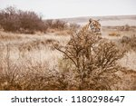 vintage style photo of a wild... | Shutterstock . vector #1180298647