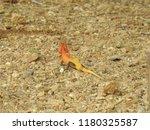 reddish yellowish lizard ... | Shutterstock . vector #1180325587