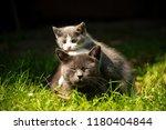 Stock photo family of cats outdoor cat with the baby kitten on grass cat hugs kitten cat plays kitten 1180404844