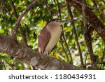 Nankeen Night Heron  Queenslan...