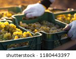 Grape Harvesting On Vineyards....