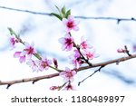 beautiful blooming peach trees... | Shutterstock . vector #1180489897