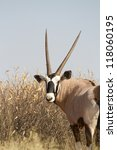 An adult oryx looking over its shoulder - stock photo