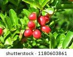 mango lime booze | Shutterstock . vector #1180603861