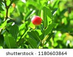 mango lime booze | Shutterstock . vector #1180603864