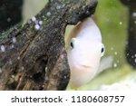 cute albino perch is hiding... | Shutterstock . vector #1180608757
