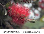 a close up of bottlebrush plant ... | Shutterstock . vector #1180673641