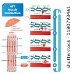 atp muscle contraction cycle... | Shutterstock .eps vector #1180793461