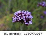 """argentinian vervain"" flowers ...   Shutterstock . vector #1180973017"