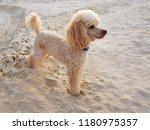 cute poodle puppy of cream... | Shutterstock . vector #1180975357