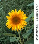 sunflower summer flower close... | Shutterstock . vector #1180975714