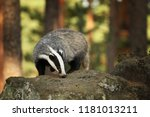 young badger sniffing on stone  ... | Shutterstock . vector #1181013211