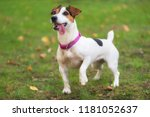 Jack Russell Terrier Dog In The ...