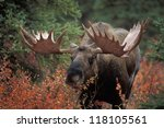 Small photo of Bull moose (Alces alces) feeds on fall foliage of dwarf birch, Denali Nat'l Park, Alaska.