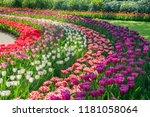Super Colorful Tulips Blossom...