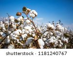 cotton field agriculture ... | Shutterstock . vector #1181240767