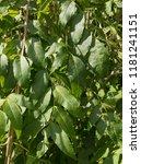 weeping ash tree  fraxinus...   Shutterstock . vector #1181241151