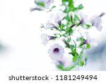 Purple Petunia Are Blooming...
