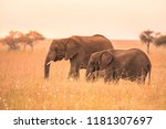 African Elephant Couple In The...