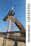 giraffe at zoo. kiev. | Shutterstock . vector #1181321524