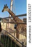 giraffe at zoo. kiev. | Shutterstock . vector #1181321527