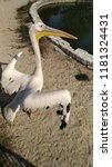 pelican in zoo. kiev. | Shutterstock . vector #1181324431