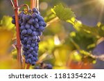 bunch of grapes on a vineyard... | Shutterstock . vector #1181354224